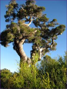 tea-tree-225x300